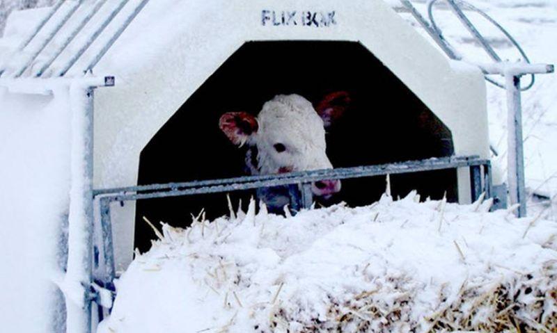 Утримання телят взимку: комфорт і додаткова енергія